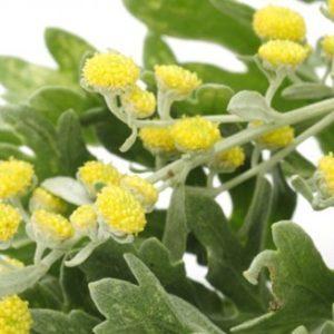 Il Qinghaosu – L'Artemisia Annua